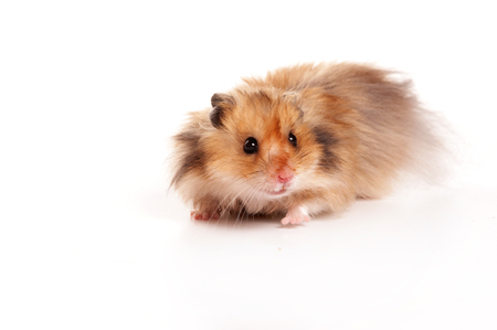 Red hamster (isolated on white)