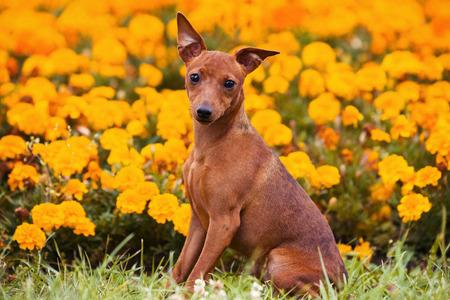 Dog Pinscher on the grass in flowers