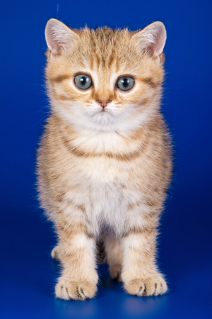 ginger tabby kitty british cat on a blue background Stock Photo - 124633500