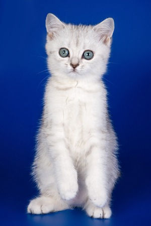 White kitten british cat on a blue background Stock Photo