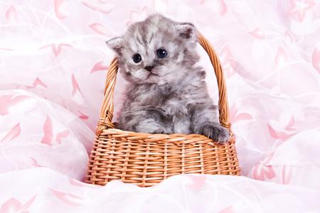 Cute british cat kitten on pink background Stock Photo