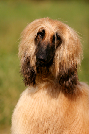 Portrait of a dog Afghan hound on the grass in the sun Stock Photo - 124633509
