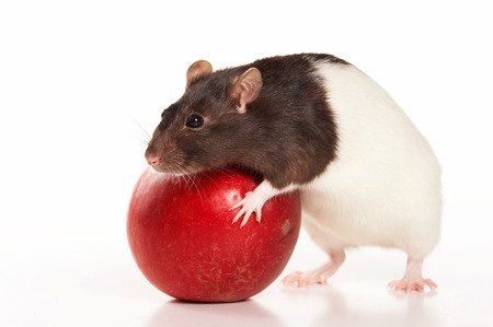 white rat with apple (isolated on white)