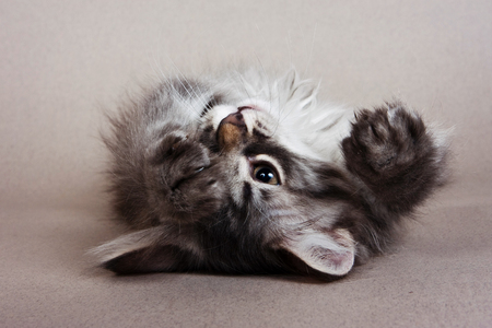 fluffy kitten of the Siberian cat plays on a gray background