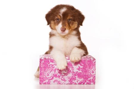 Australian Shepherd puppy in box (isolated on white) Imagens