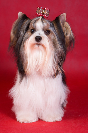 Puppy dog biver york on a red background Stock Photo