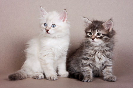 Two gray striped kitten Siberian cats on a gray background
