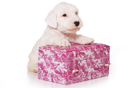 White terrier puppy sitting in a box (isolated on white) Stock Photo - 123154780