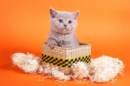 Brown kitten british cat on an orange background Stock Photo