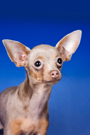 Toy Terrier puppy on blue background Stock Photo