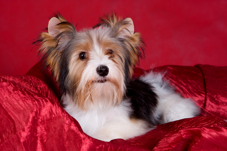Puppy dog biver york on a red background Stock Photo - 123154783
