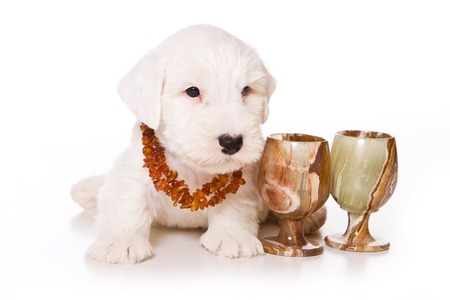 White puppy terrier and beads (isolated on white) Stock Photo