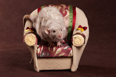 Gray rat and armchair on a brown background Фото со стока