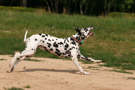 Dalmatian dog runs and plays with in the grass Stock Photo - 123155121