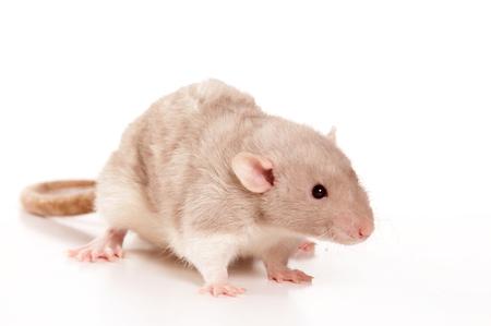 Rat (isolated on white)
