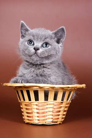 Gray fluffy british cat kitten on a brown background Stock Photo - 123155125