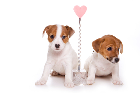 Two Jack Russell Terrier puppies (isolated on white)