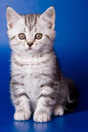 Gray striped kitty british cat on a blue background Stock Photo - 123155132