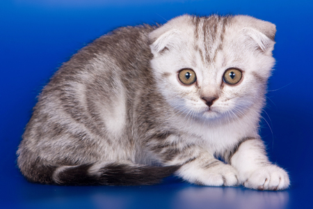 Gray striped kitty british cat on a blue background Stock Photo - 123155133