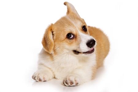 Funny red dog welsh corgi pembroke puppy (isolated on white) Stock Photo