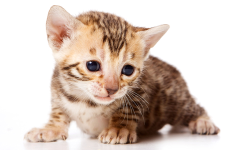 Bengal Cat Red Kitten (isolated on white) Stock Photo - 123155136