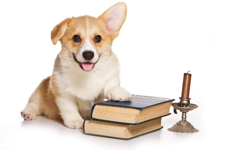 Funny redhead welsh corgi pembroke puppy and old books (isolated on white) Stock Photo