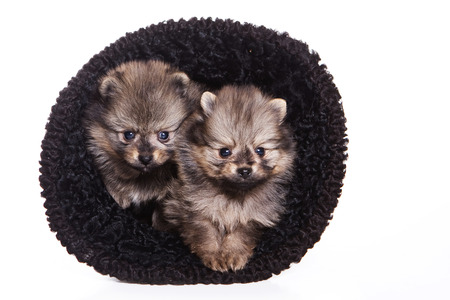 Two fluffy Spitz puppy in a hat (isolated on white)
