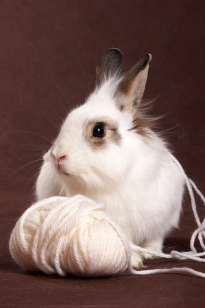 Portrait of a white rabbit and a ball of wool on a brown background