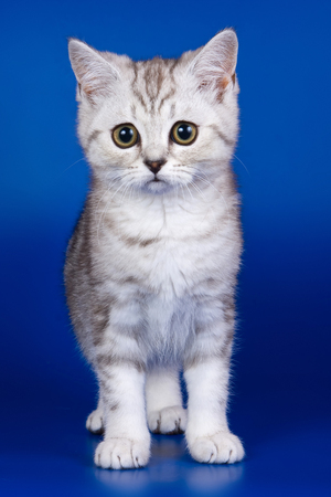 Light tabby British cat kitten on a blue background