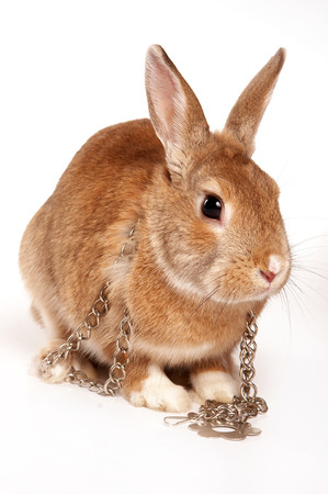 Red rabbit and iron chain (isolated on white)