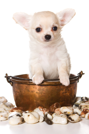 Cute puppy of chihuahua dog in a saucepan (isolated on white) Stock Photo