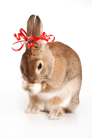Red-haired rabbit with bows washes (isolated on white)