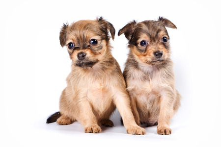 Group of puppies Russian toy terrier (isolated on white) Reklamní fotografie