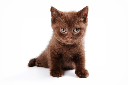 brown kitten british cat (isolated on white) Stock Photo - 123155335