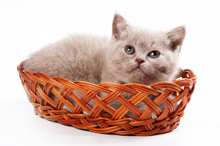 brown kitten british cat in a basket (isolated on white) Stock Photo