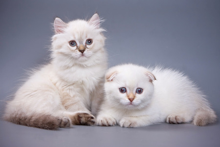 White fluffy kitten Scottish Fold on a gray background Stock Photo - 123155345