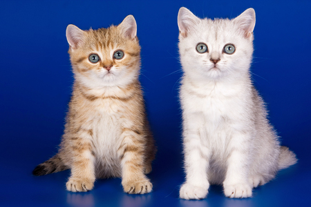 Two striped kitty british cat on a blue background Stock Photo