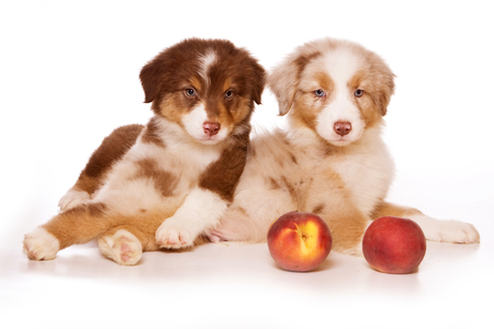 Two puppies of australian shepherd and apples (isolated on white)