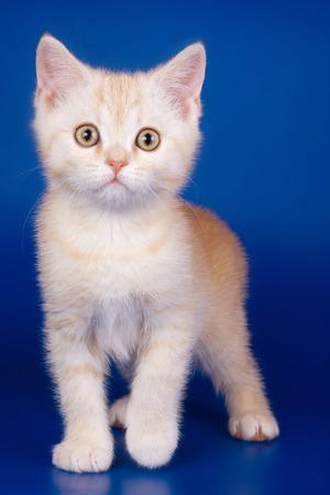Light tabby British cat kitten on a blue background