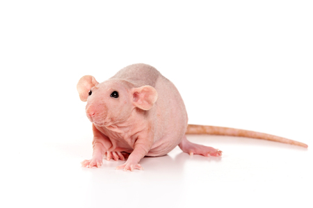 Sphinx rat (isolated on white) Imagens