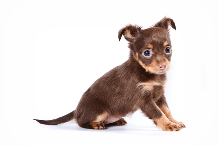 Cute puppy of russian toy terrier (isolated on white) Stock Photo - 123155371