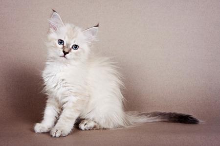 Fluffy white kitten Siberian cats on a gray background