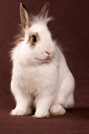 Portrait of a white rabbit on a brown background Stock Photo