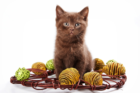 brown kitten british cat (isolated on white)