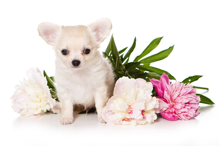 Chihuahua dog puppy and peony flowers (isolated on white) Stock Photo