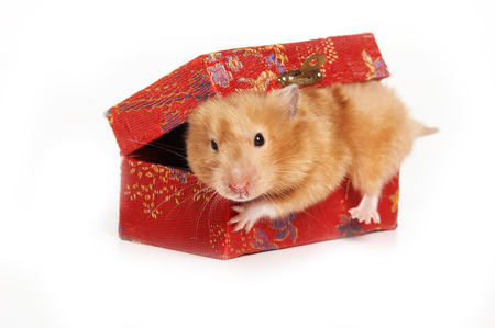 Red hamster crawls out of the box (isolated on white)