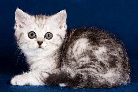 White striped kitten Scottish fold on a blue background Stock Photo