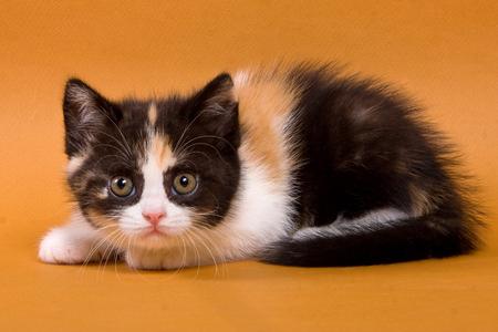 Spotted kitten british cat on an orange background Stock Photo