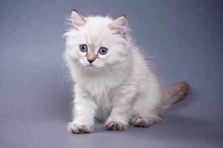 White fluffy kitten Scottish Fold on a gray background Stock Photo - 123155541