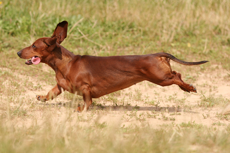 red dachshund running in the grass in the sun Stockfoto